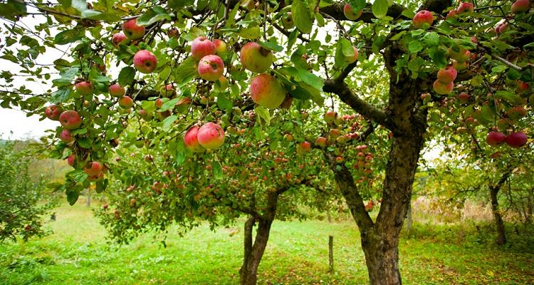 arbres fruitiers